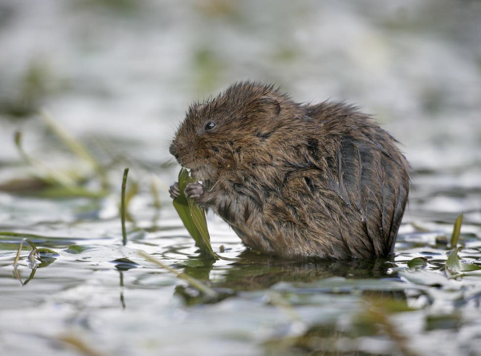 The return of water voles to the Gwent Levels has been described as 'bittersweet'