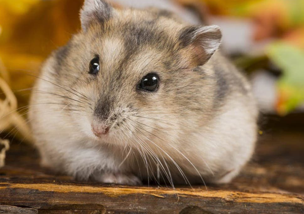 how hamsters are helping scientists tackle obesity the independent