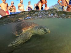 Moment turtle has plastic bag removed from throat   The