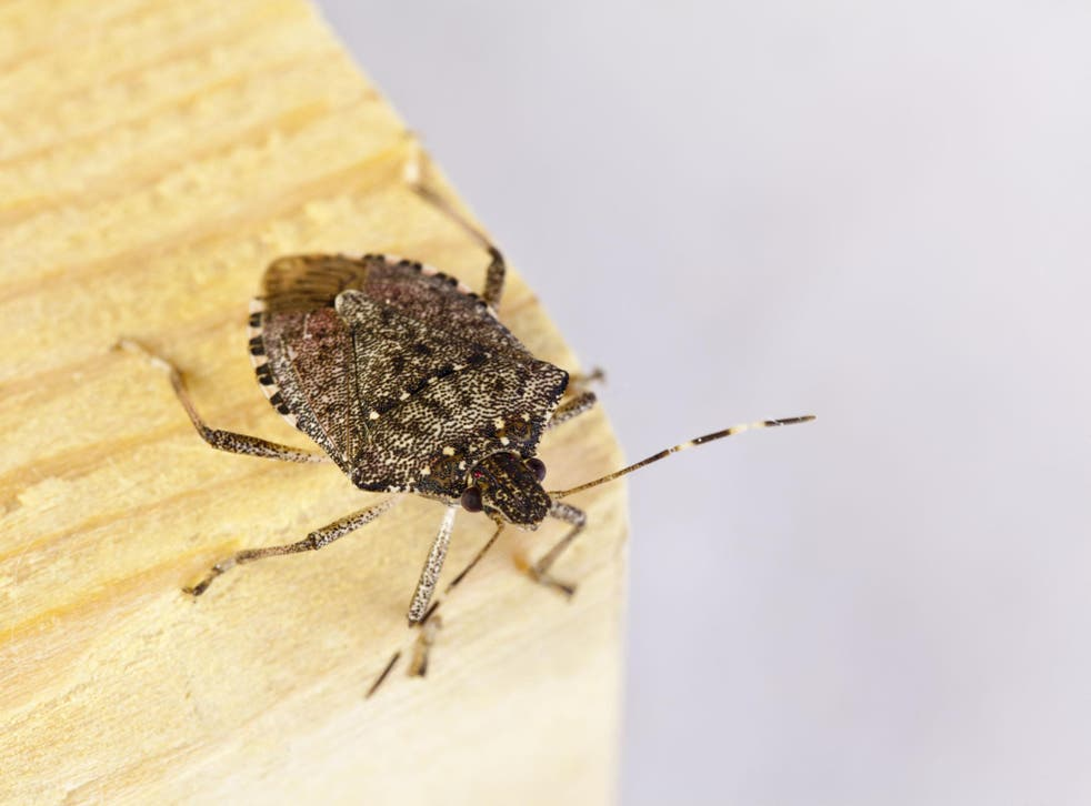 Six generations of the brown marmorated stink bug can be born within a single year