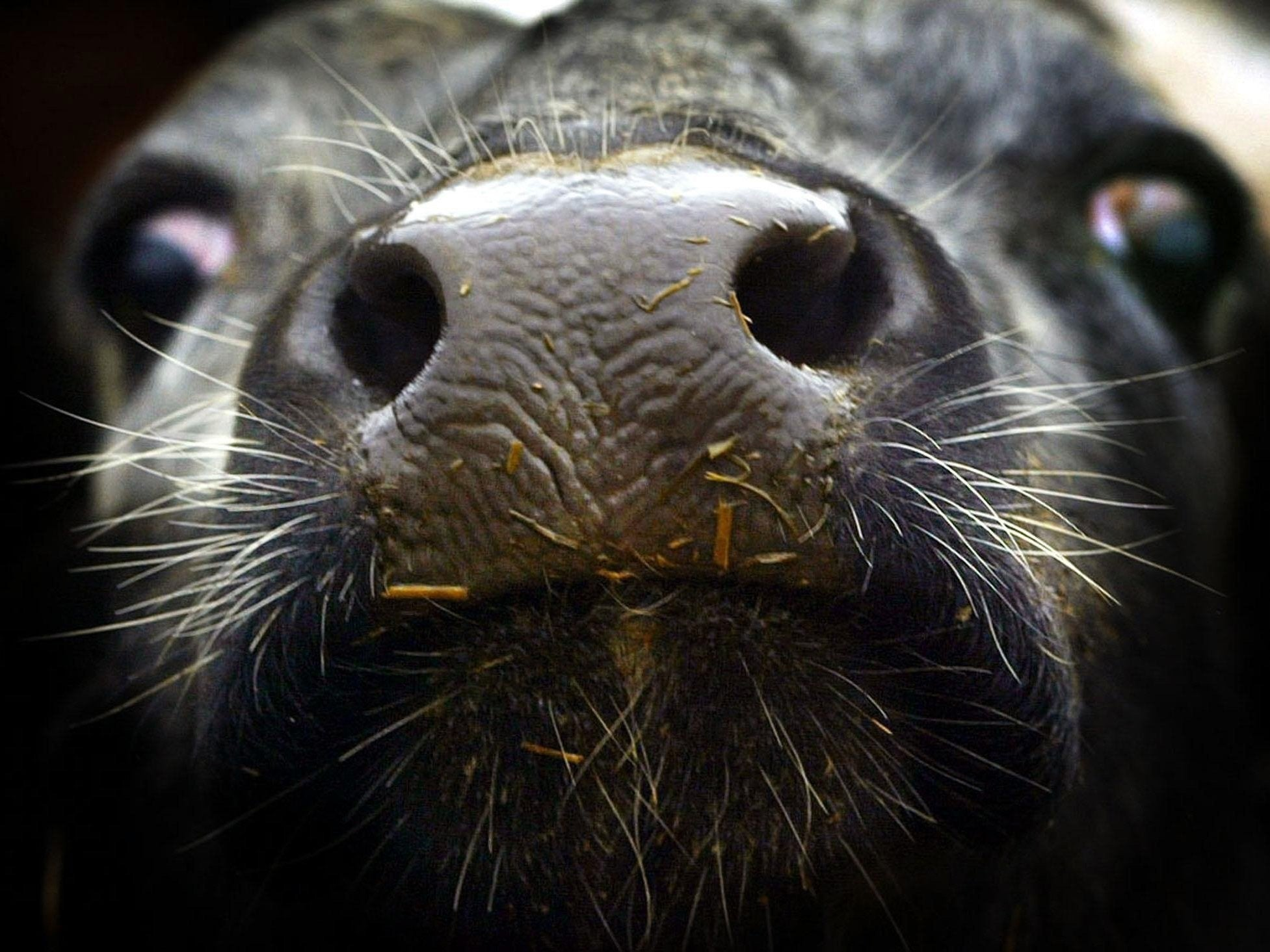 Mad cow disease: More animals to be destroyed as chief vet
