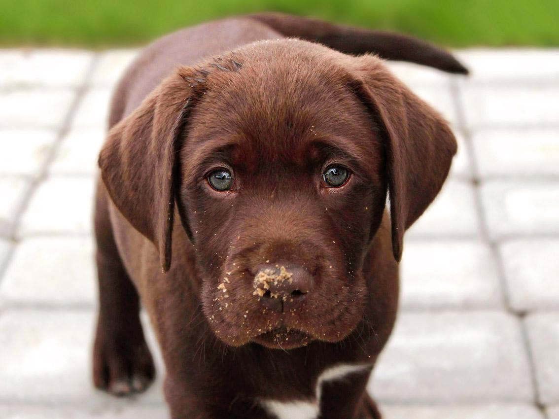 Life expectancy of chocolate labradors is linked to their colour, finds study