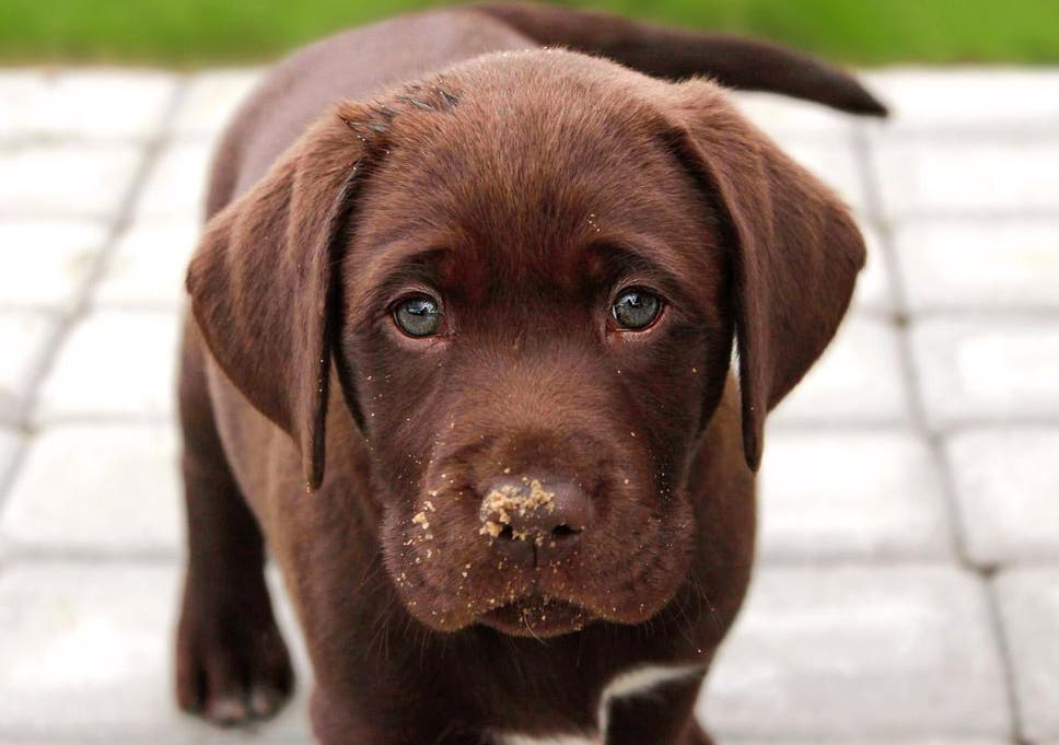 Life Expectancy Of Chocolate Labradors Is Linked To Their Colour