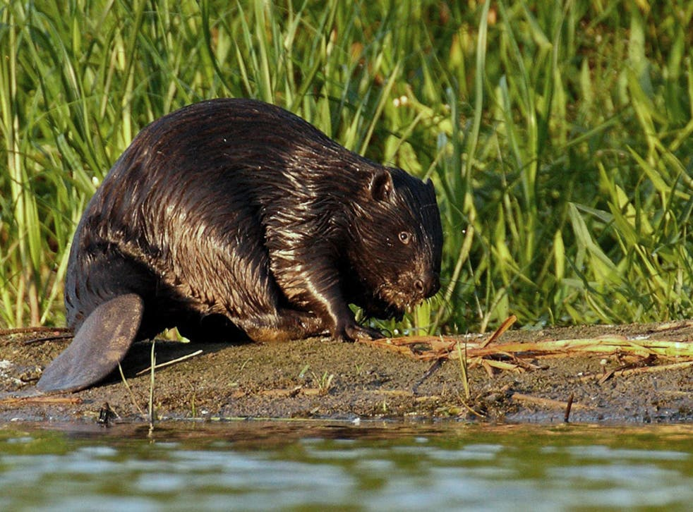 The Eurasian beaver is the largest rodent in Europe, weighing up to 30kg