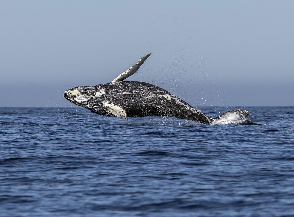 'Slower speeds can reduce underwater noise levels, and therefore may help some whale populations recover,' the open letter said