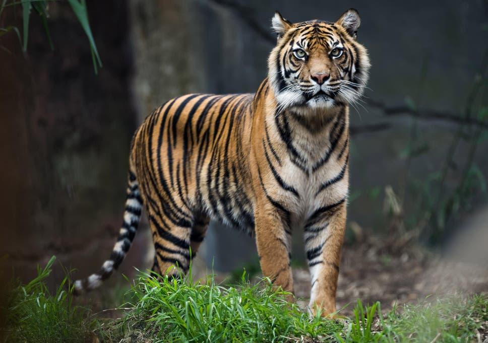 contoh hewan karnivora harimau