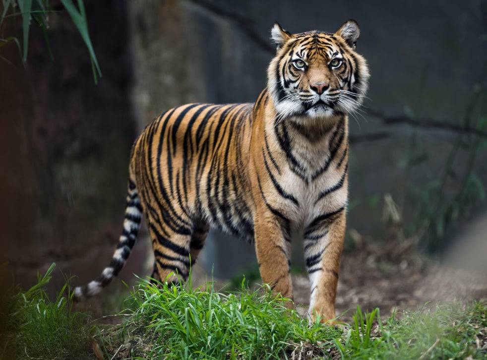 Reclassifying Remaining 4 000 Tigers In World Could Help Save Them From Extinction Research Says The Independent The Independent