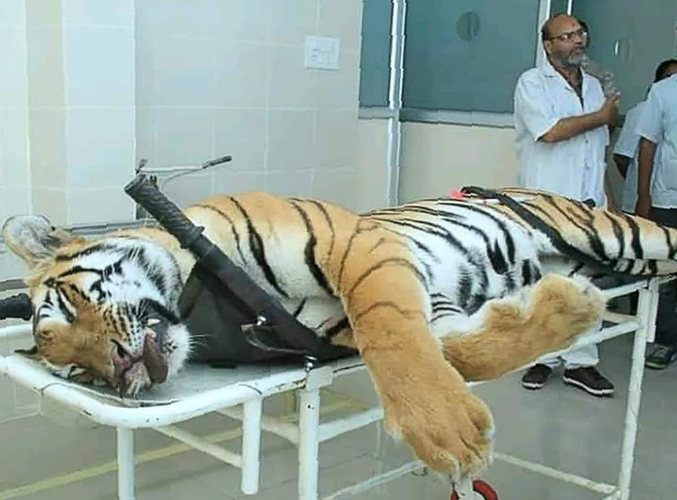 Tigress T-1 on a post-mortem table in Maharashtra state
