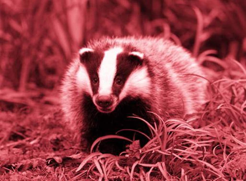 Nearly 20,000 badgers were killed last year in efforts to eradicate bTB