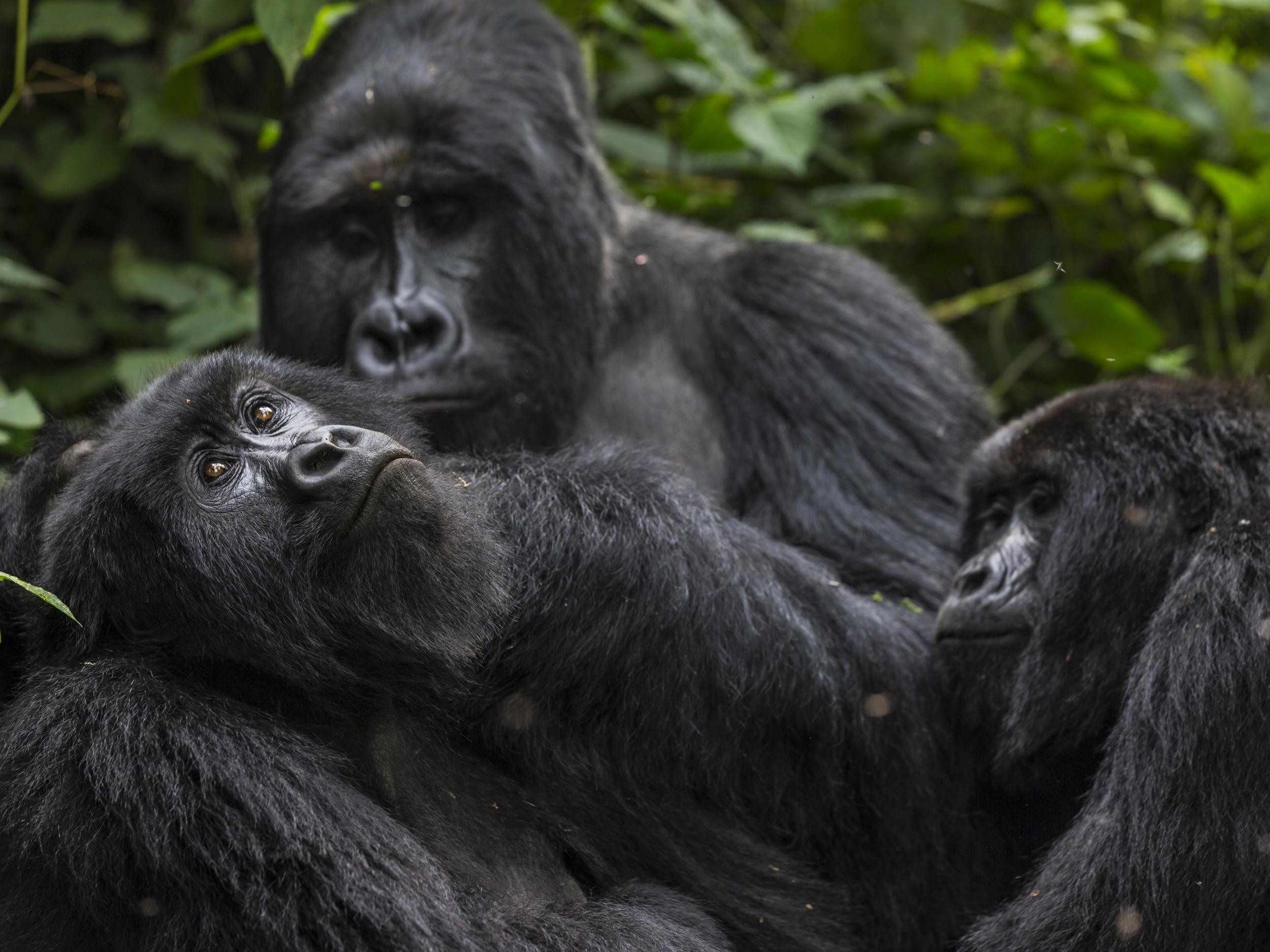 Fin whales and mountain gorillas back from the brink of extinction thanks to conservation efforts