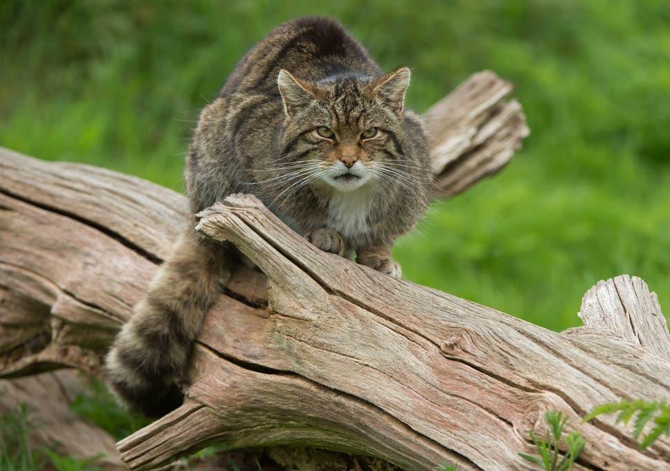 Scottish-Wildcat.jpg?w968h681