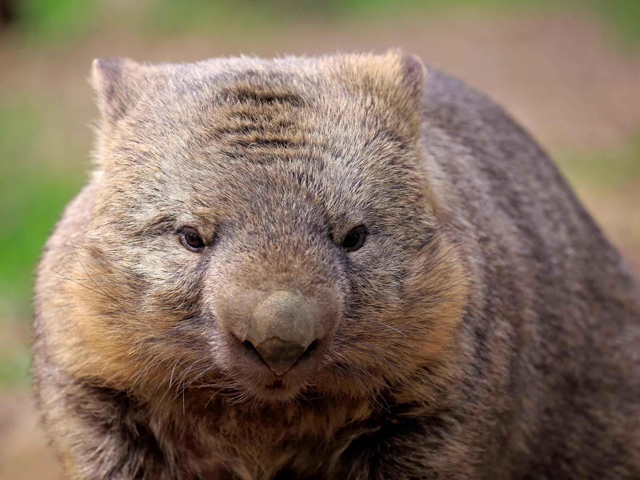 Scientists solve the puzzle of how Wombat's cubes produce