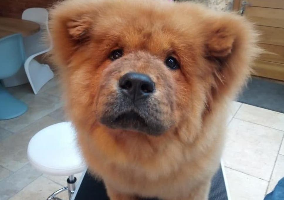 Free Bungle Chow Chow Puppy Returned To Owners After Being Seized