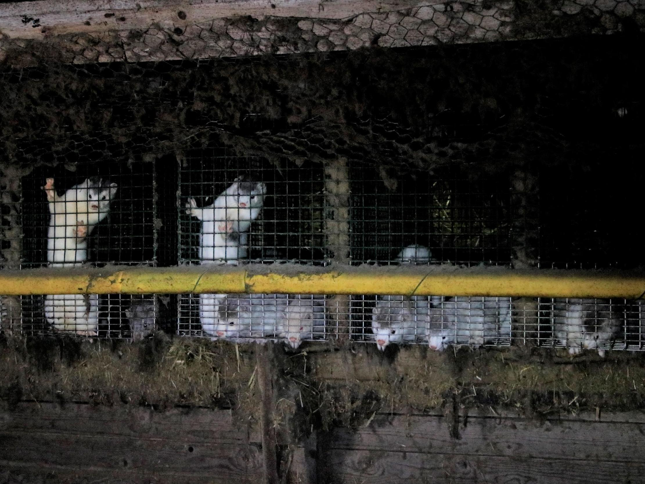 6719d289ae8 Caged animals resort to cannibalism on 'high welfare' fur farms linked to  Britain's most upmarket brands and sellers. '