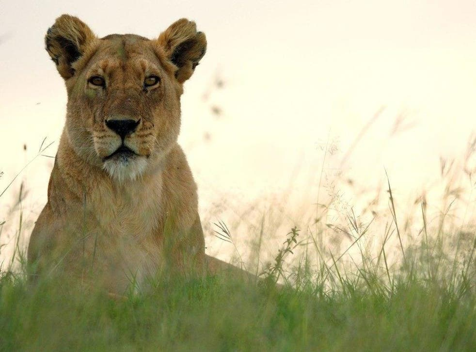 A lion in 'Dynasties'