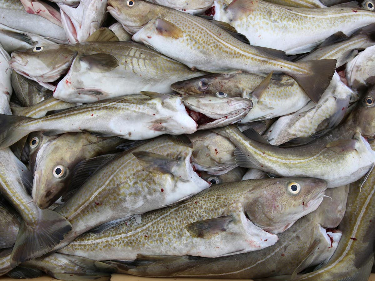 Cod could be back off the menu after recent recovery as climate change warms oceans
