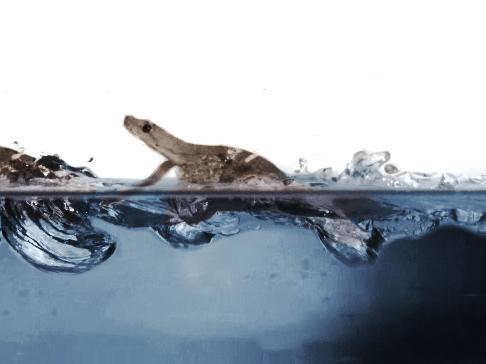 Misterio de cómo los gecos caminan sobre el agua resueltos por los científicos.