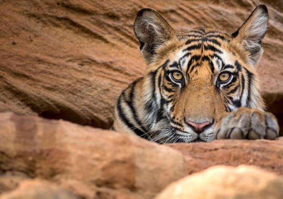 Tiger Or Hands Off Mom Both Types >> Dynasties Episode 5 Review Sir David Attenborough Mixes Cute