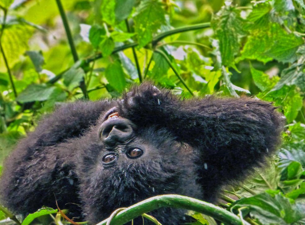 <p>The mountain gorilla population in central Africa is rising thanks to careful conservation initiatives </p>