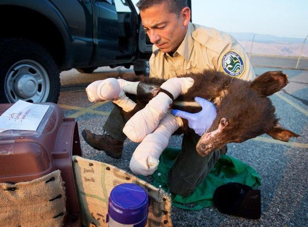 Cinder the Bear was rescued in August 2014