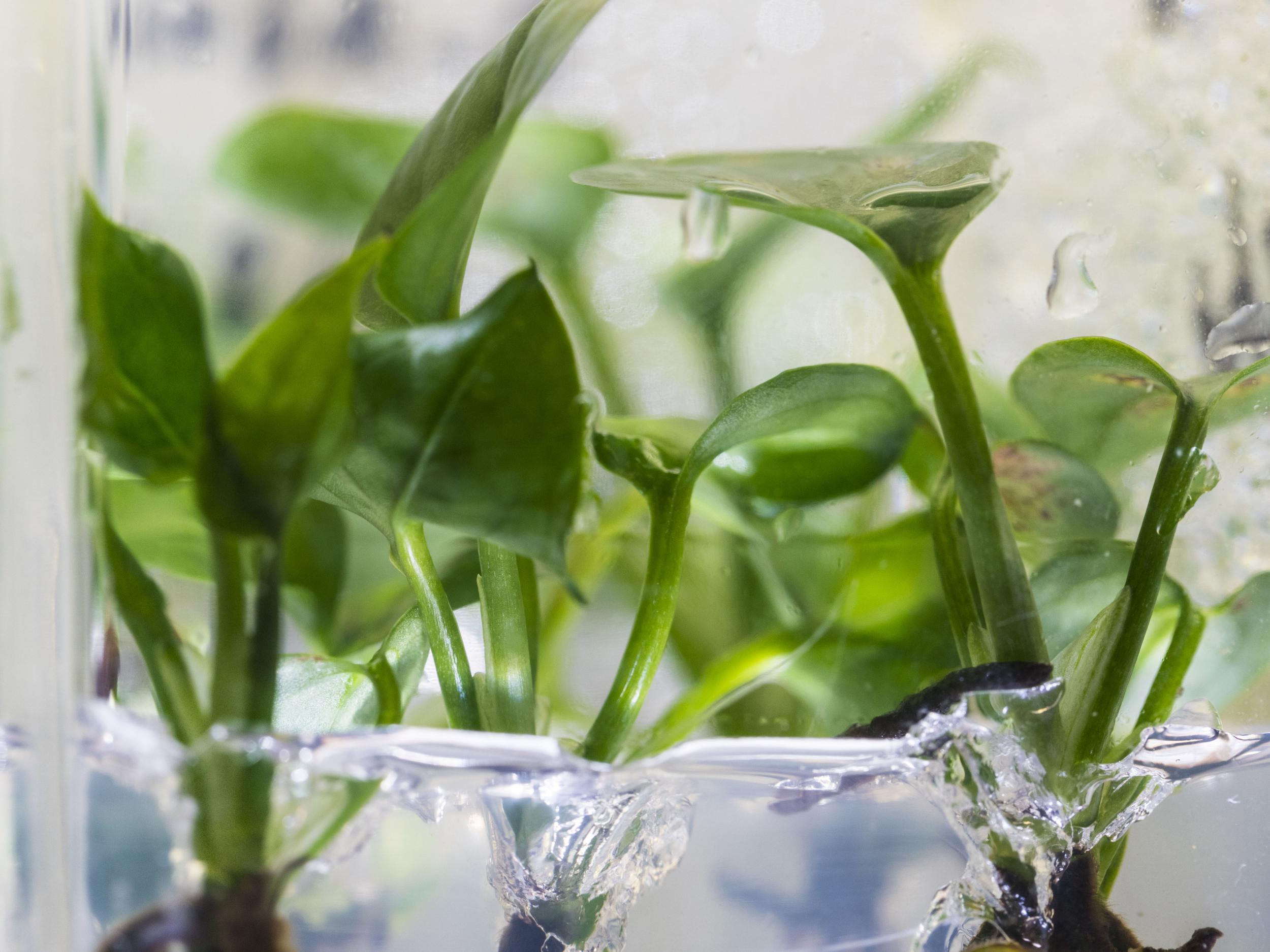 Genetically modified plant with rabbit DNA able to clean pollution from air