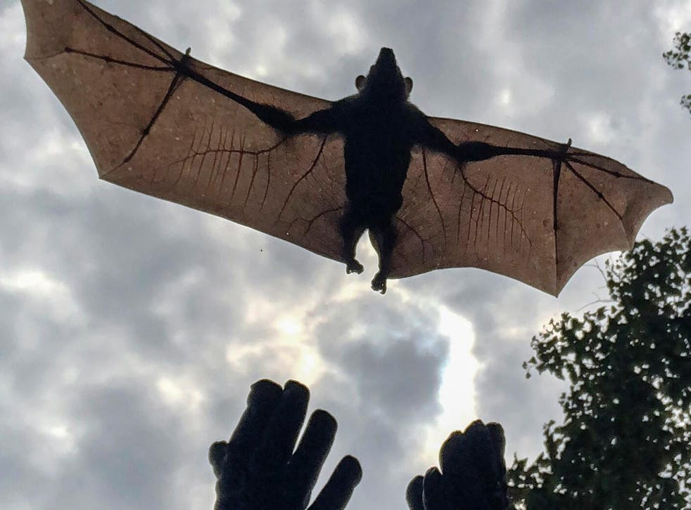 Jonathan Towner releases a bat with a GPS device attached to it. Scientists are trying to determine flight patterns and how the bats transmit the Marburg virus to humans