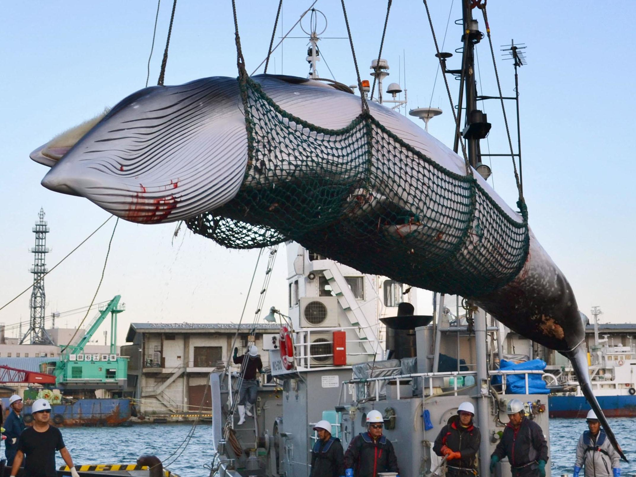 Japan confirms plan to resume commercial whaling in its waters from next year