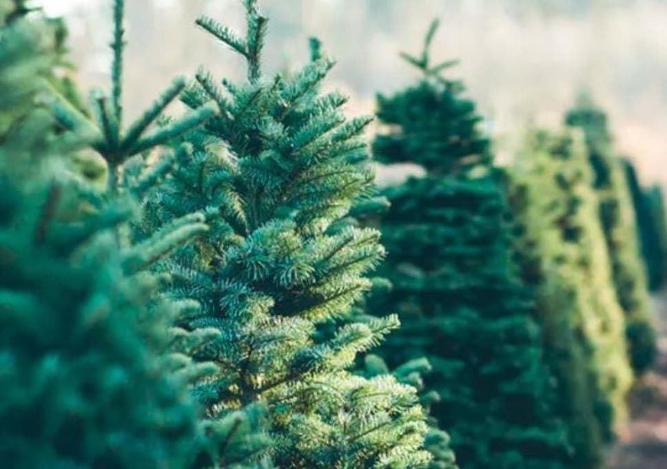 Christmas Trees Images.How A New Recycling Process Could Help Stop Christmas Trees
