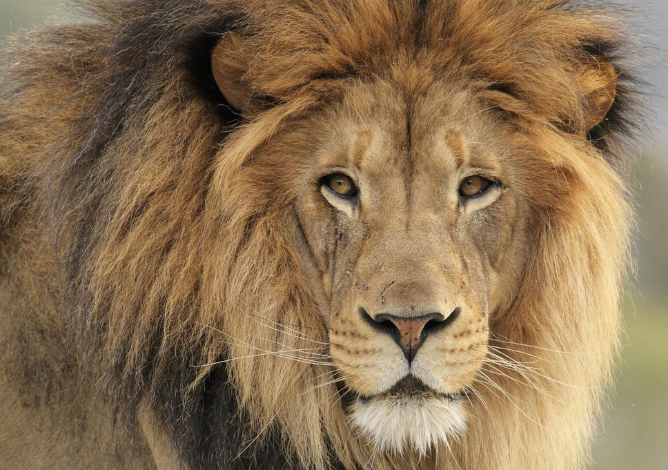 Conservatives break pledge to ban lion hunt trophies from