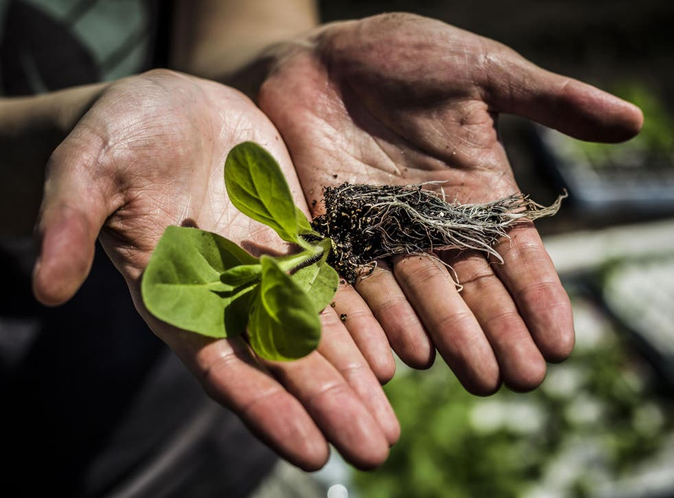Scientists planted engineered tobacco seedlings to test how they would fare compared to the normal variety