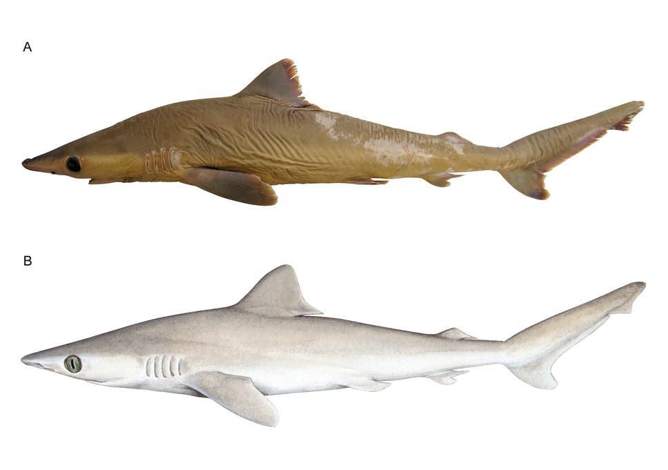 New 'lost' shark species may already be extinct due to