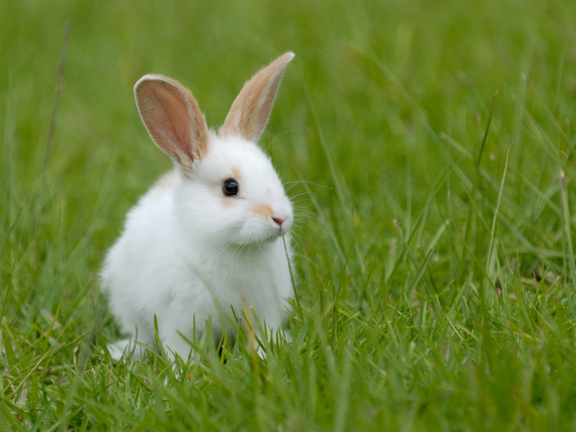 Rabbits are stronger and bigger if they eat their own faeces, study finds | The Independent | The Independent