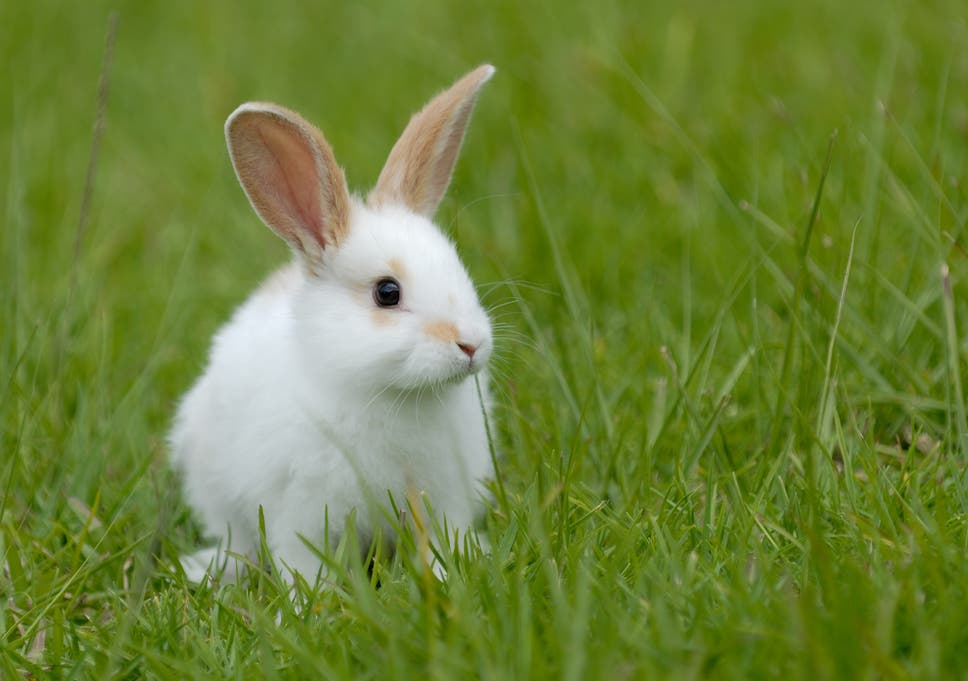 Rabbits are stronger and bigger if they eat their own faeces, study