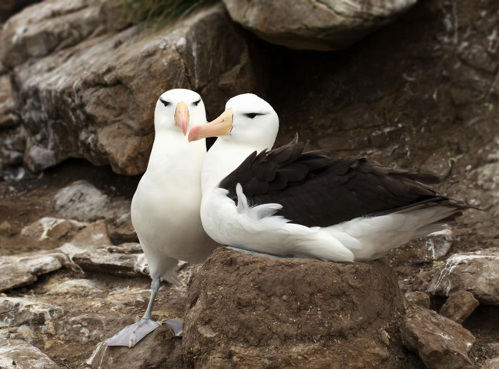Many animals, including albatrosses, form pair bonds with other individuals to share the burden of offspring care