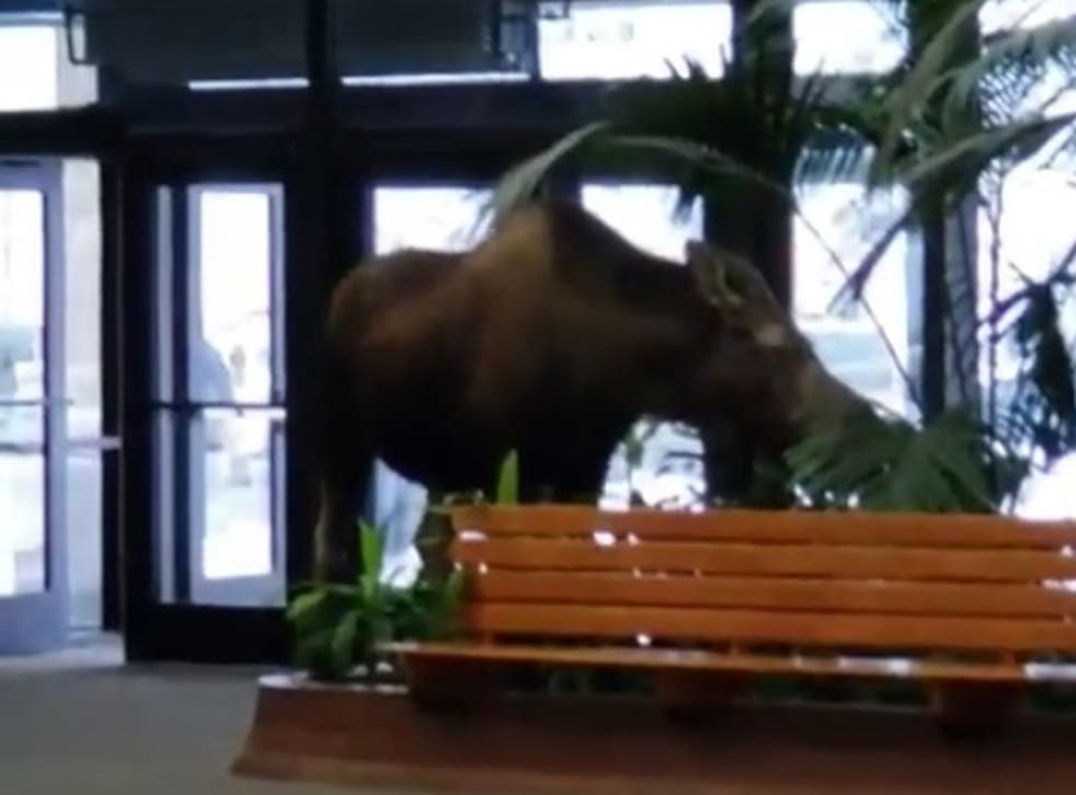 The moose ate some plants before it left the hospital.