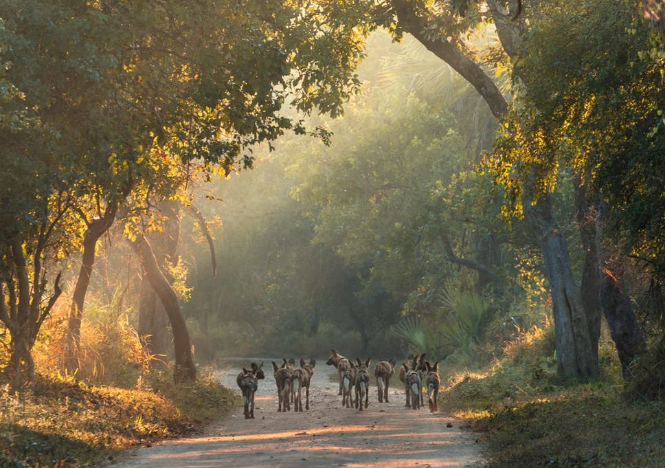 Walking towards a better future: the success is in part down to the reintroduction of carnivore species such as wild dogs