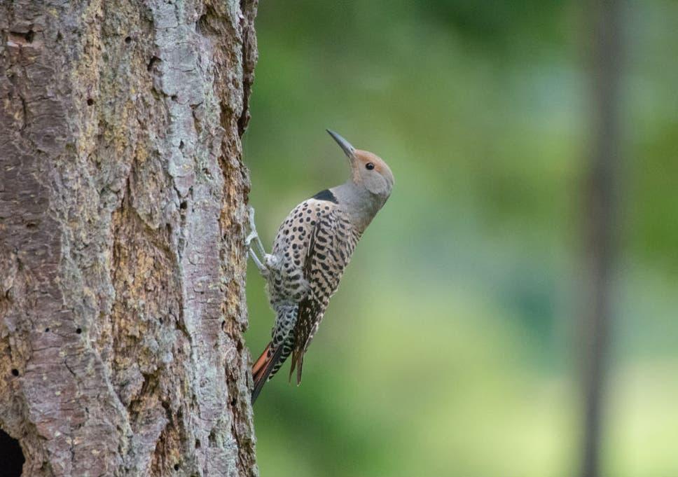 Welcome to the neighbourhood: How a noisy woodpecker
