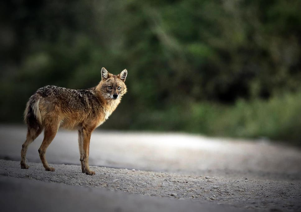 info for 1bfd7 d2d32 Golden jackals moving into western Europe