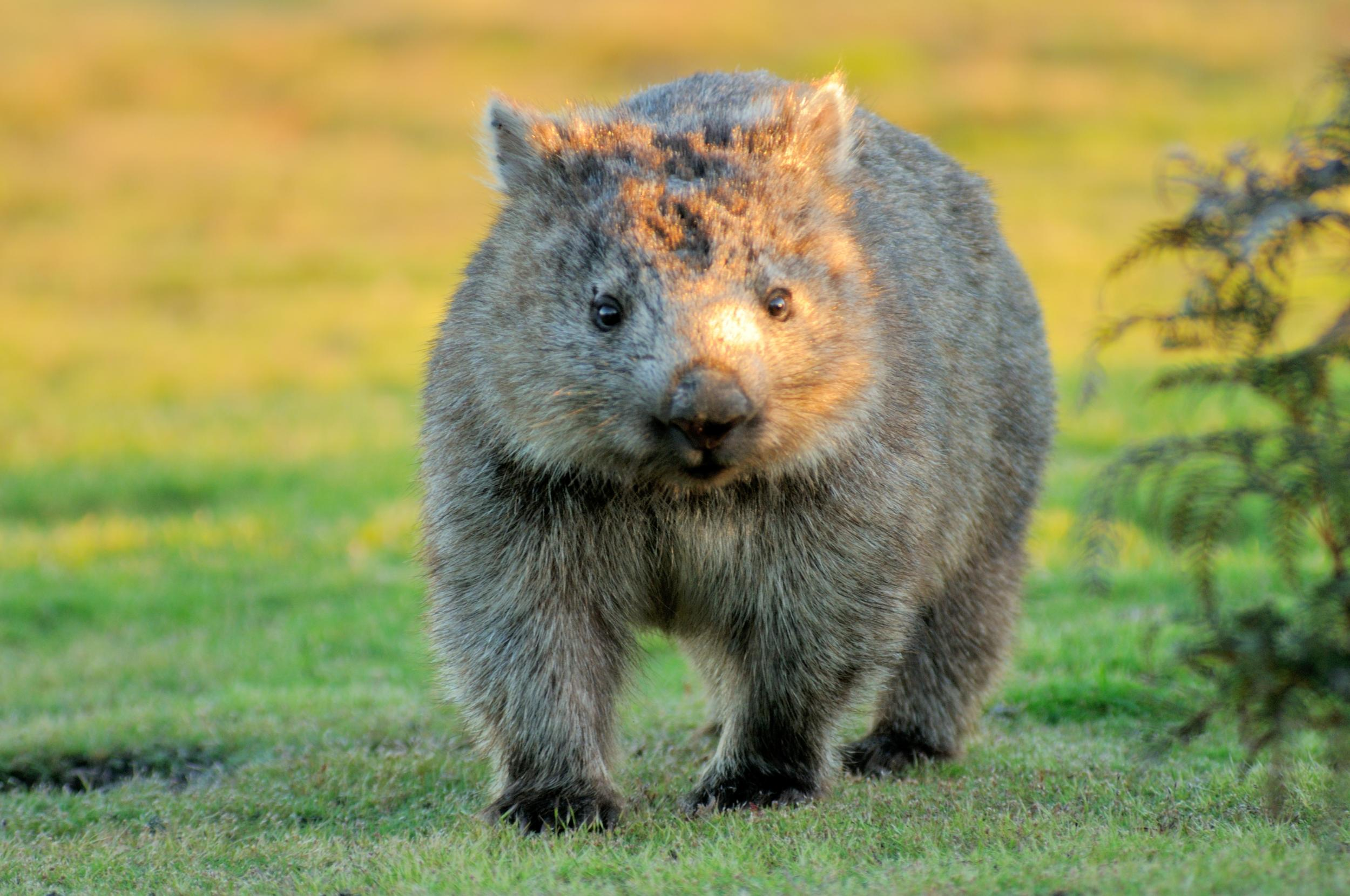 Tourists urged to stop taking selfies with wombats on remote Tasmanian island