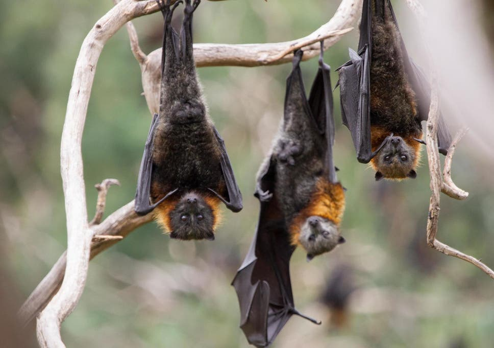 Are Bats New Canaries >> Bats Dying On Biblical Scale Due To Record Breaking Australia