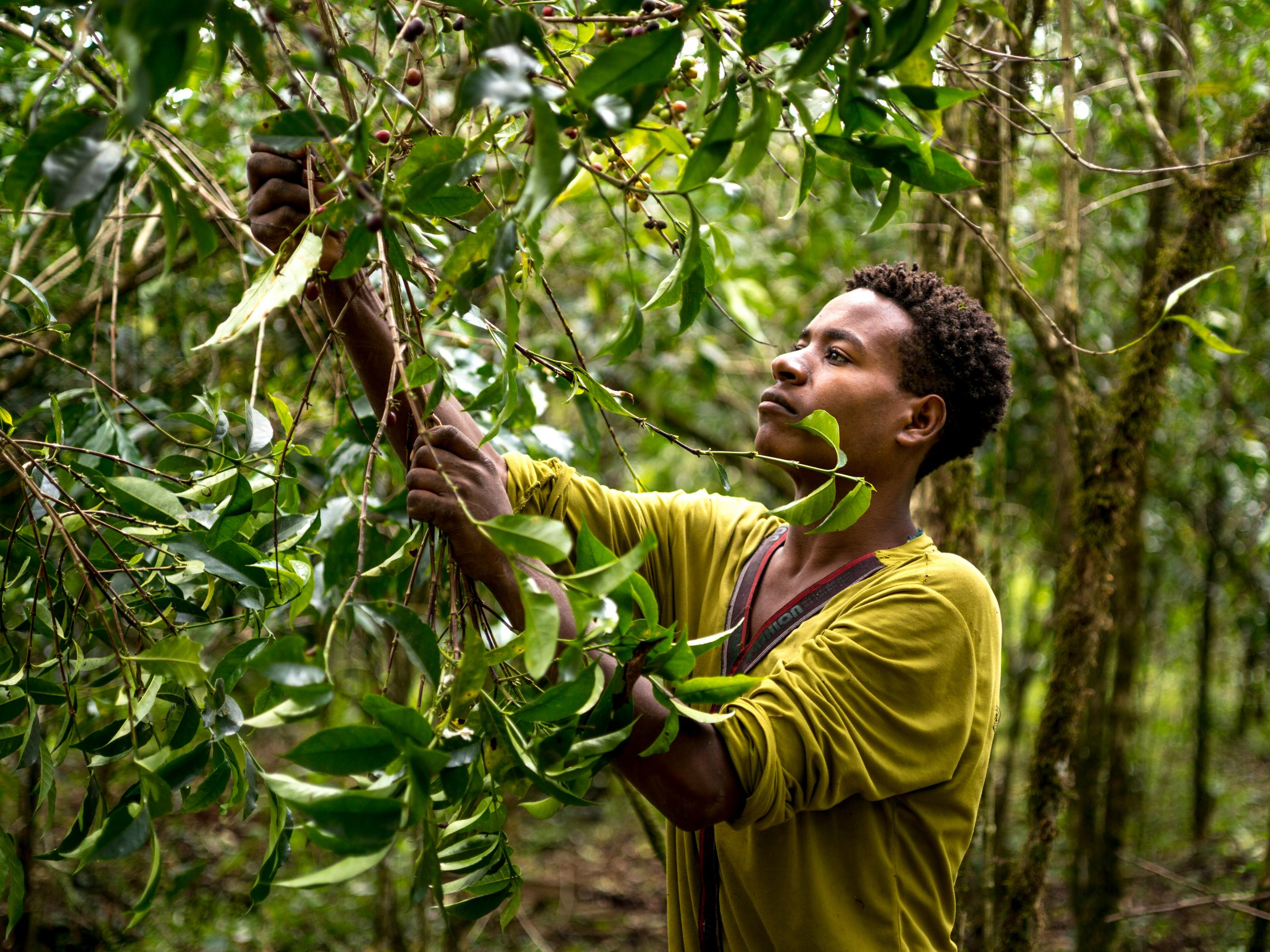 At least 60% of wild coffee species face extinction triggered by climate change and disease