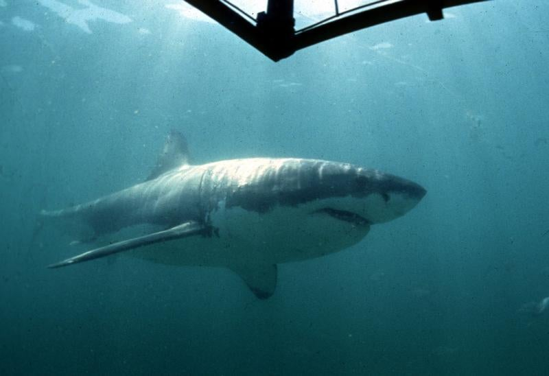 Largest great white shark ever recorded seen feasting on