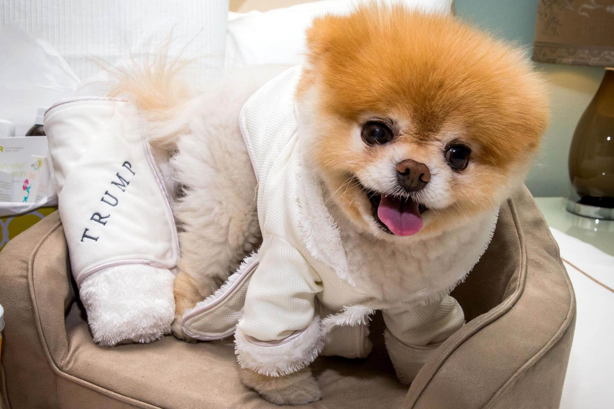 Boo The Pomeranian Dead Famous Dogs After His Heart Literally Broke Age 12 The Independent