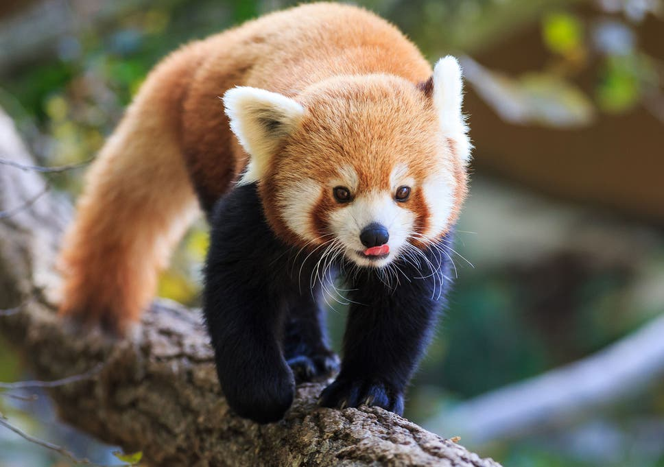Endangered red panda escapes from Belfast zoo, prompting police
