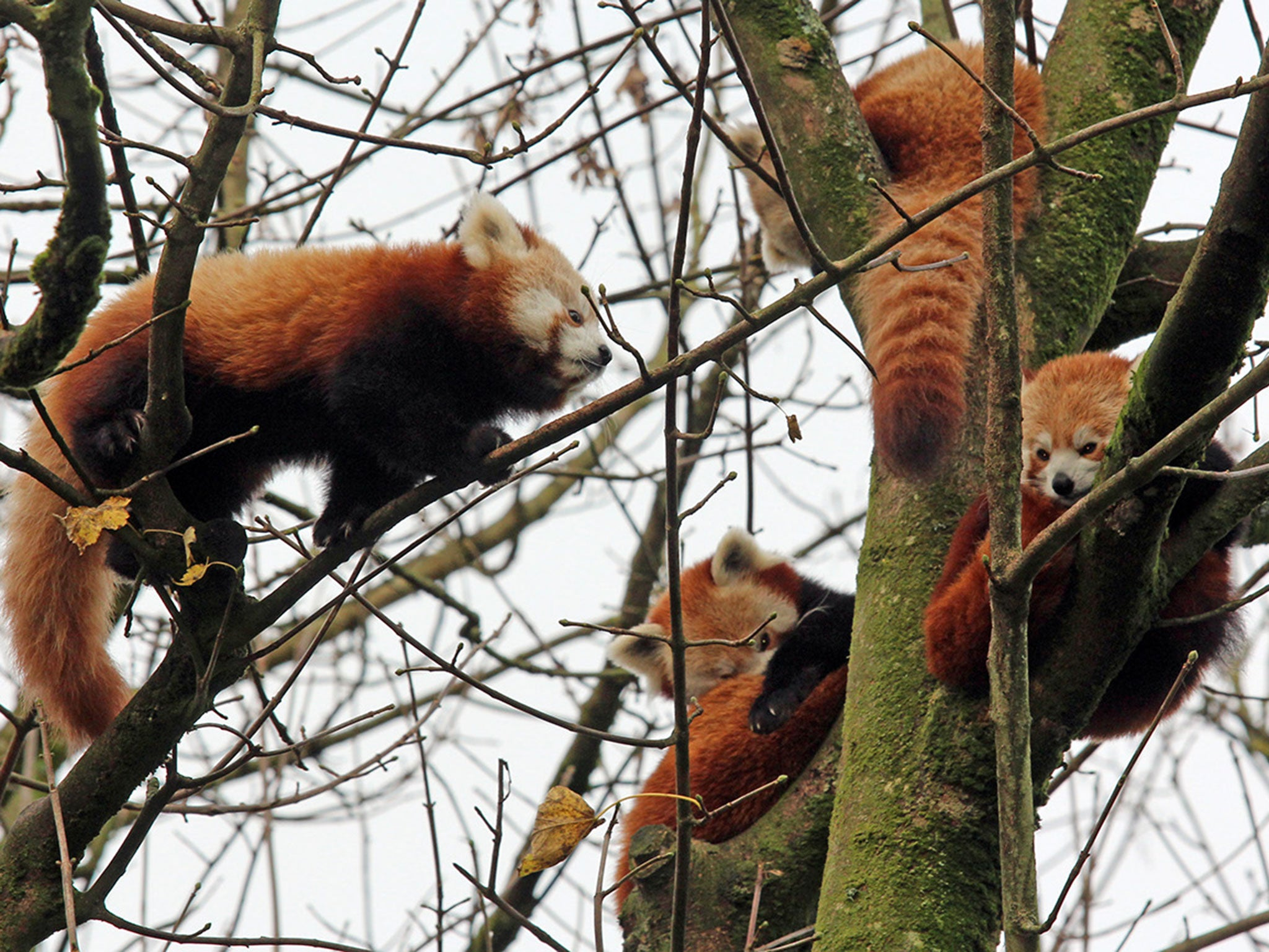 Red panda escape: Endangered animal found after escaping from