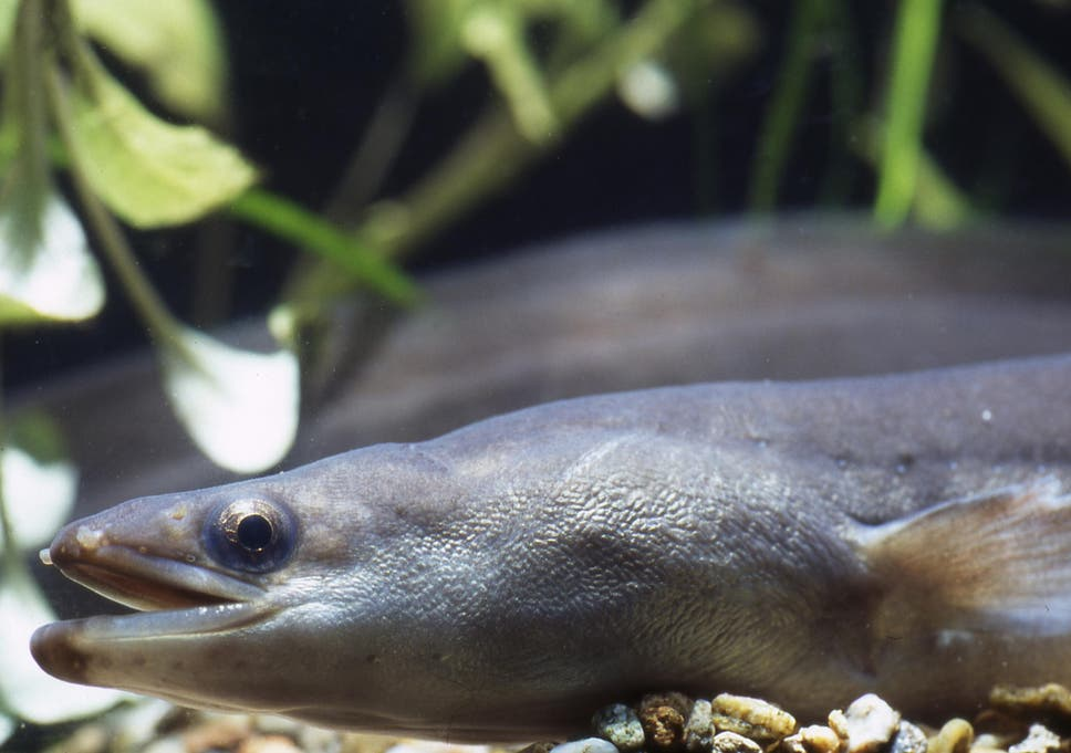 Eels in Europe are threatened by overfishing, dam construction and pollution