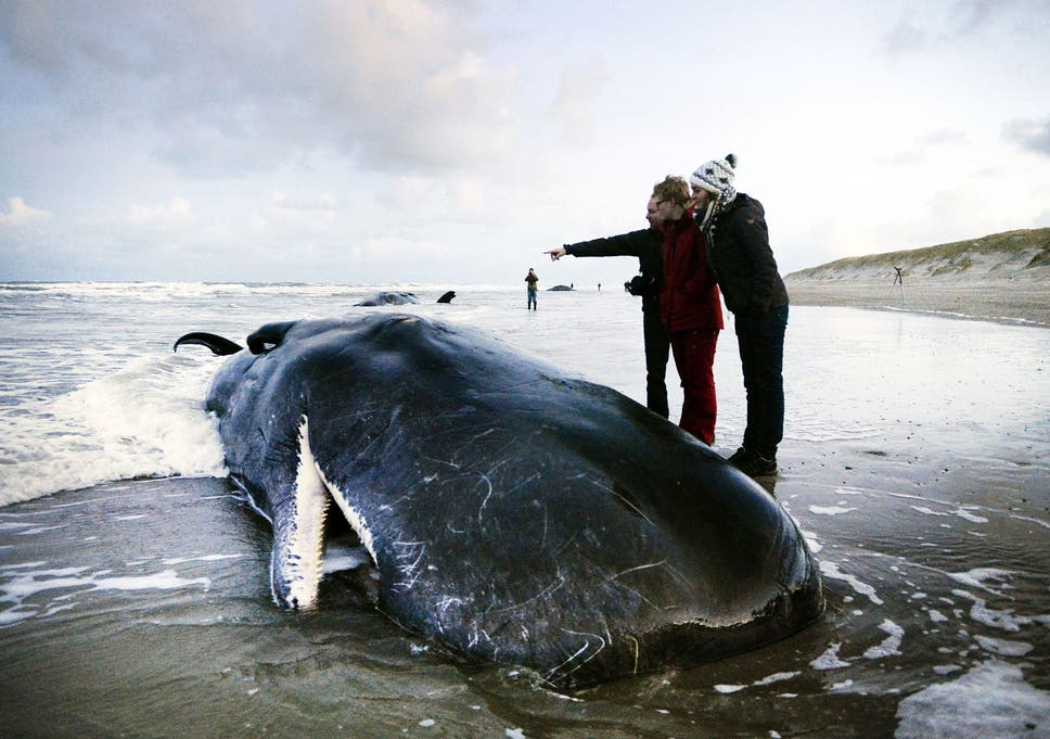 Sonar was developed in the 1950s to detect submarines – and mass strandings of beaked whales were rare before this point