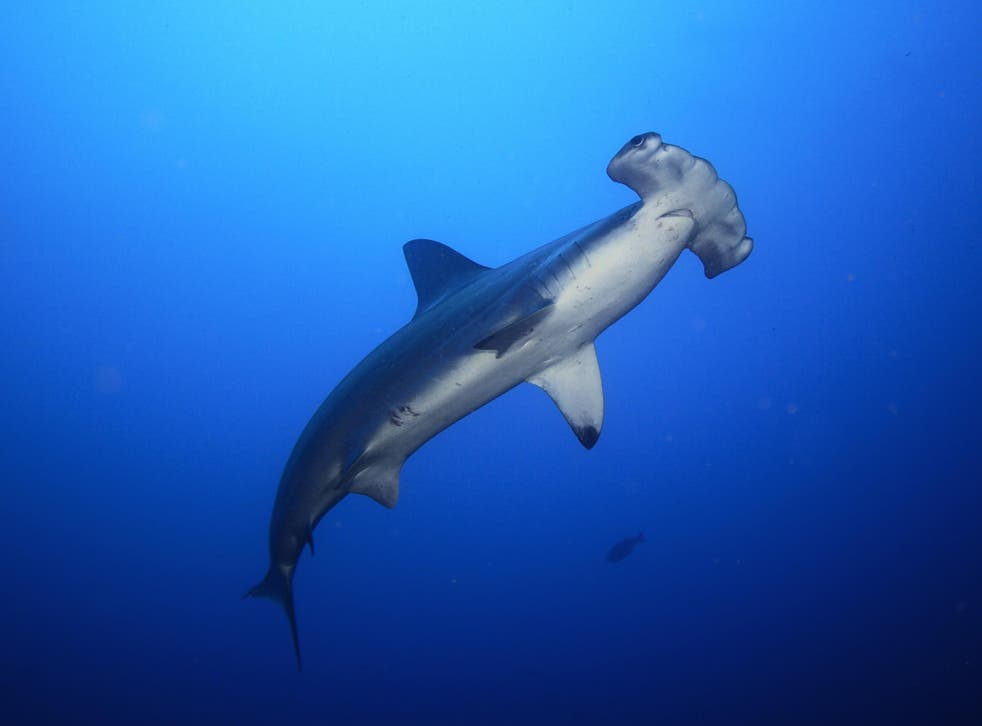 Hammerhead sharks were among the threatened species found in samples taken at an Asian wholesale retailer
