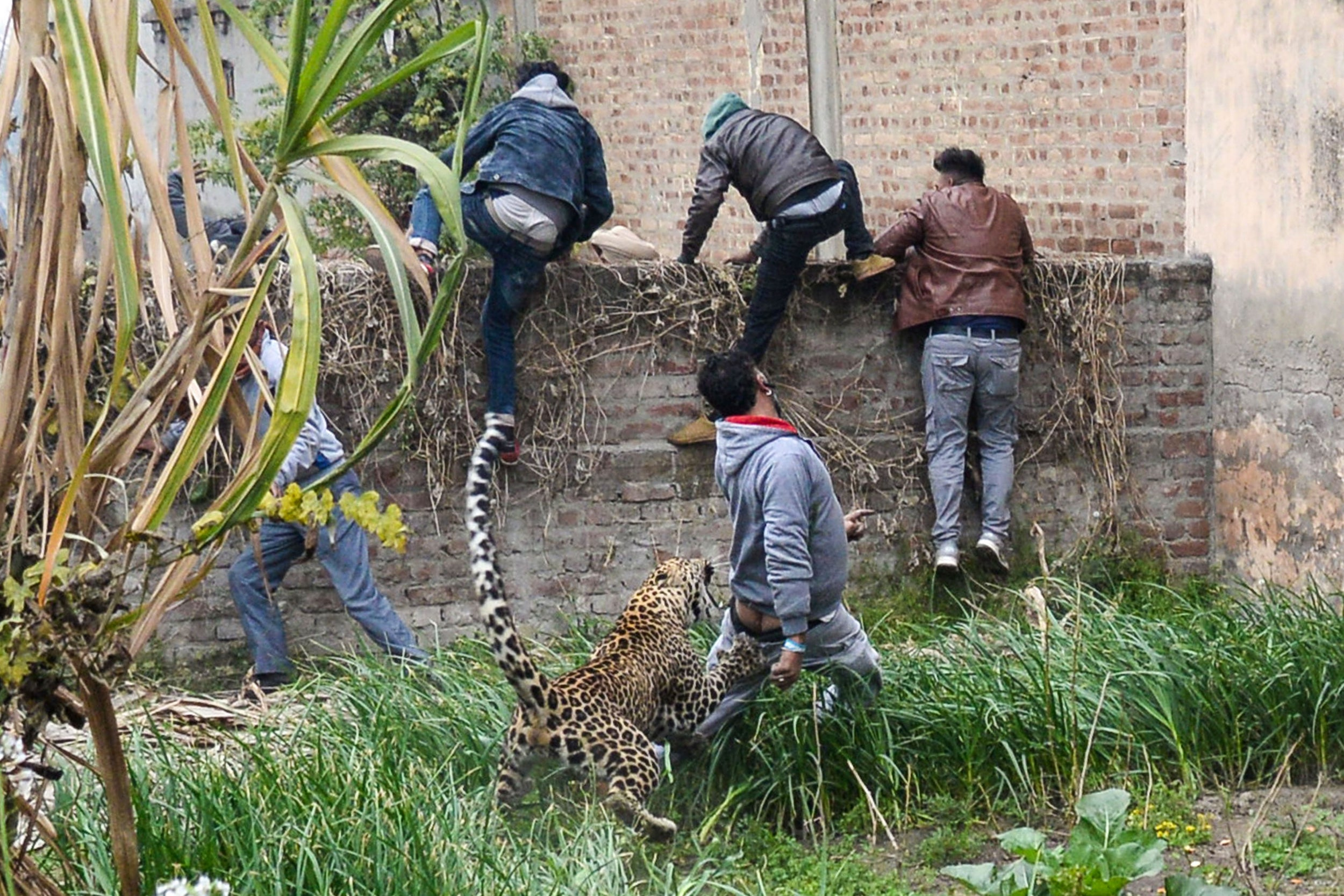 Leopard mauls several people in six-hour rampage through
