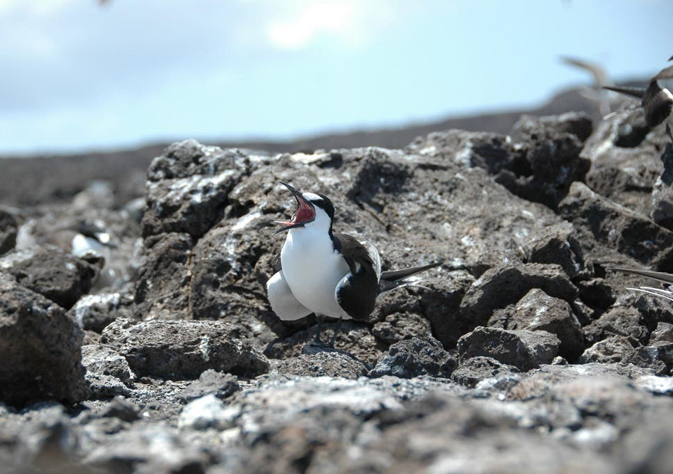 Sooty tern numbers on Acension have plummeted over the past few decades